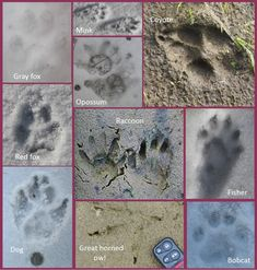 Poultry Predator Identification: A Guide to Tracks and Sign | One Acre Farm