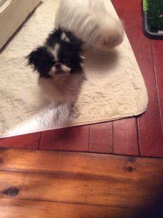 Sukoshi Aiko, Puppies, Dogs, Animals, Animales, Puppys, Animaux, Pet Dogs, Doggies
