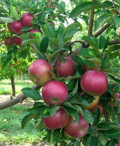IdaRed Apples  good for red applesauce