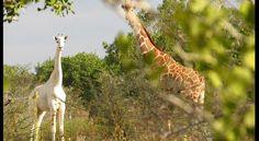 Die kleine Giraffe leidet unter Leuzismus, einer Defekt-Mutation, die dazu führt, dass das Fell weiß und die darunter liegende Haut rosa ist.