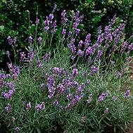 Lavandula angustifolia and cvs.
