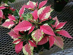 Poinsettia varieties | NJ.com 'Aventgarde Marble' by Dummen