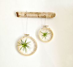 Set/2 Caught in a web air plant on embroidery hoop with driftwood / Tillandsia air plant/ wall decor -mobile-modern decor- dorm decor