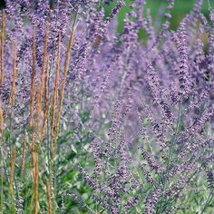 Russian Sage  Russian sage grows so well in hot, dry, sunny clay that in some areas it is considered invasive. (So check local restrictions before planting it.) Its wispy lavender flower spikes and silvery foliage make it an anchor of the summer border.  Name: Perovskia selections  Zones: 4-9