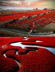 Red Beach in Panjin, China. The seaweed stays green all summer, then bursts into flaming red in autumn. Amazing.