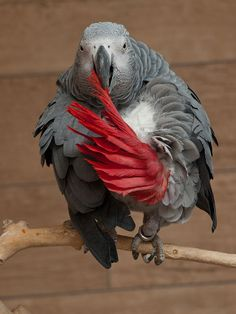 African Grey Parrot - Smartest Bird On The Planet...............