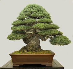 6P4A6142.jpg #japanesegardens #bonsai