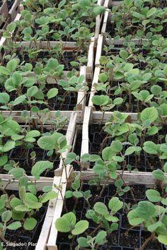 plantas pequeñas de kiwi. http://www.plantamus.es/comprar-frutales