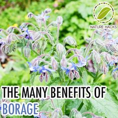 the many benefits of borage: Not only It can be eaten, used as a remedy but also it keeps pesticides away from your plants and attract the honey bees