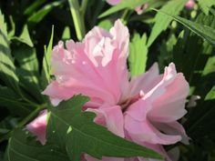Пионы в саду могут быть окружены многолетниками с небольшими многочисленными соцветиями ярких и пастельных тонов. Красные цветки пиона хорошо сочетаются с белым и серебристым, синим и лилово-розовым. Их можно группировать с геранями, ясколкой, белоцветущей ясноткой, котовником Фассена, с белыми пионами. Розовым пионам составят компанию незабудки, желтые облачка цветущей манжетки, дельфиниум гибридный. Белоцветковые пионы замечательны в белом и бело-голубом окружении.