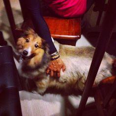 Lucky Phua  Shetland sheep dog | Pawshake