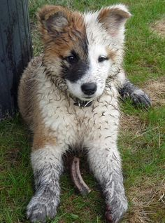 Icelandic Sheepdog... One day I'll get him a pup of his own :)