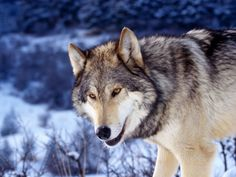 Gray Wolf in Snow Wallpaper Wolves Animals Wallpapers in jpg