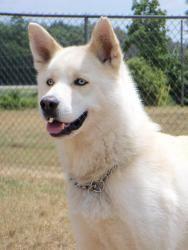 Denali: Husky, Dog; Angola, IN