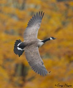 Canada-goose | Flickr - © Corey Hayes These live all around me - parks, high school football field, other green spaces. They fly high above my yard in winter.