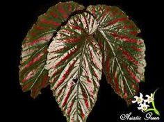 Resultado de imagem para begonias