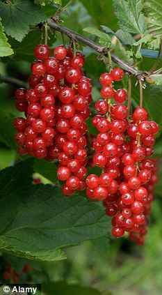 Some berries and currants are expensive to buy or difficult to find in shops, so plant your own bushes now for punnets of sunripened fruit that will be ready for picking in a few months' time. Fruit Garden, Edible Garden, Fruit And Veg, Fruits And Veggies, Red Currants, Strange Fruit, Variety Of Fruits, Vegetable Garden Design, Weird Food