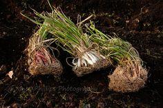 A Farm Wife's Life: Onions - A Garden Post
