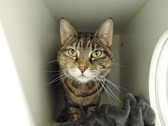 DRAGONIA - A1102085 - - Manhattan  ***TO BE DESTROYED 02/02/17***  BEGINNER RATED SWEETIE – DRAGONIA IS AFFECTIONATE, SOCIAL, SWEET, AND READY TO CUDDLE WITH HER RESCUE ANGEL! -  Click for info & Current Status: http://nyccats.urgentpodr.org/dragonia-a1102085/