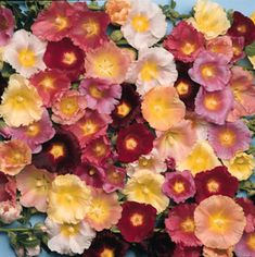 Hy Lights Hollyhock Mix Seeds From Park Seed