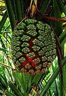 Pandanas Tree ... Female trees produce a large, segmented fruit somewhat resembling a pineapple. Besides serving as a food, its fibrous helps clean the teeth, acting as a natural dental floss. Pandanus is a very important medicinal plant, with certain varieties sometimes preferred for particular treatments.  Leaves, especially the basal white section of young leaves,and roots are used. In Kiribati, pandanus leaves are usedin treatments for cold/flu, hepatitis, dysuria, asthma, boils