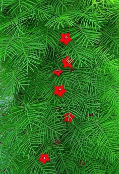 Cardinal or Cypress Vine. Ipomoea quamoclit. plant it once and you have it for a lifetime- it grows like a weed in Texas. If it goes where you don't want it, it is fairly easy to pull off. I love the vivid red against the brilliant green. Hummingbirds love it.