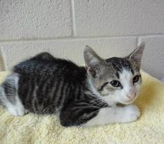 Rico - CRITICAL! is an adoptable Domestic Short Hair Cat in Nashville, NC. ~ URGENT ~ This pet is at what is considered a high killShelter. The Shelter is estremely small and the pets have very litt...