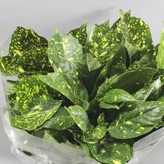 Aucuba Japonica is available wholesale in batches of 5 bunches. Very useful for inclusion in wedding bouquets, arrangements and table decorations. Aucuba Japonica, Wedding Bouquets, Wedding Flowers, Florist Supplies, Yellow Flowers, Plant Leaves, Table Decorations, Vegetables, Garden