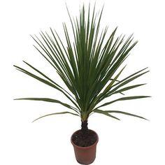 Achat cordyline australis atropurpurea jeune plante en godet cordyline australis atropurpurea - Racine d un palmier ...