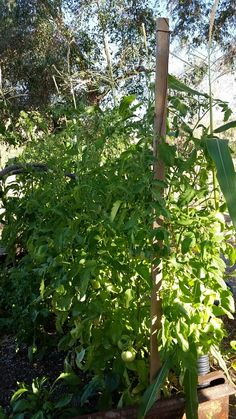 Day 68. 6/18/14. One of my tomato plants didn't get a corral. It was fine at first but with heavy tomatoes now growing on it the branches need some extra support. A little string and random board did the trick. :)