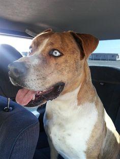 Found Dog - Pit Bull - Phoenix, AZ, United States 85044 on February 10, 2015 (22:00 PM)