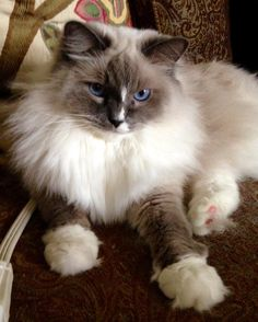 Beautiful kitty ragdoll