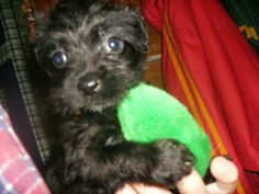 Very social puppy who was unwanted by previous home where mother dog was a small purebred black poodle.  Puppy has a tail but often it curls up, very cute.  Has wavy hair.  This puppy is very small, the runt.