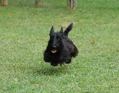 scottish terrier - Google Search