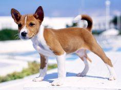 basenji puppy:)