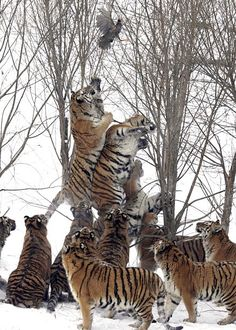 """Endangered Siberian tigers try to reach for a wild bird that was tossed in by the game ranger and flew out of their reach at the Harbin Tiger Park in Harbin, China."