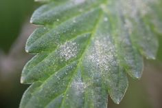 Powdery Mildew of Hemp Research Yields Valuable Insights for Growers Plant Pathology, Plant Tissue, Garden Solutions, Powdery Mildew, Hemp, Kentucky, Sick, Plant Leaves, Backyard