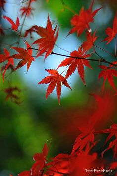 ~~Japanese Maple Leaf by *WindyLife~~