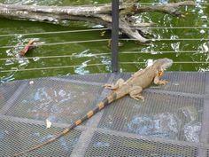 Leguan schaut sehnsüchtig aufs Wasser ... #leguan #iguana #zooave