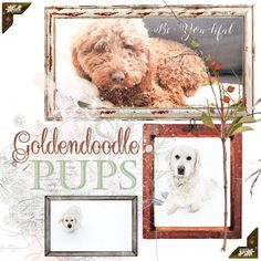 Adopt a mini Goldendoodle puppy from www.prairiewillowdogs.com  Digital Scrapbooking supplies from Simple Pleasure designs.  Prairie Willow Golden Mountain Dogs: Litters Mini Goldendoodle Puppies, Bernedoodle Puppy, Bernese Mountain Puppy, Mountain Dogs, Puppies For Sale, Dogs And Puppies, Simple Pleasures, Scrapbook Supplies, Digital Scrapbooking