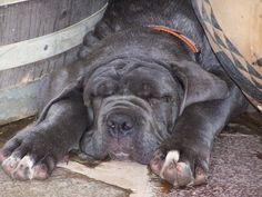 #Neapolitan #Mastiff #pup having rest