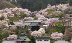 Temple in the cherry trees