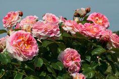 Rosier Grimpant César Meilland - hauteur : 2 / 3 m - Parfum: pas parfumé petite végétation ?