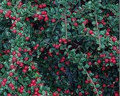 Cotoneaster horizontalis: This hardy, low growing almost prostrate shrub grows with sprays of branches that appear to be tiered.  It has small, oval dark green, slightly hairy leaves that turn bronzy purple in autumn.  It is completely deciduous in colder climates but only partially in more temperate ones.  The flowers are not particularly noteworthy but they do produce splendid flushes of red berries for which it is most famous.