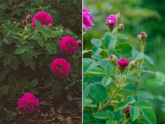 'Red Moss' and 'Old Red Moss' via Hedgerow Rose