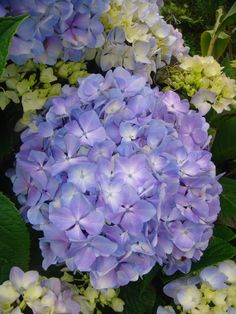 National Flower Of Portugal : national, flower, portugal, Azores, Ideas, Azores,, Island,, Portuguese