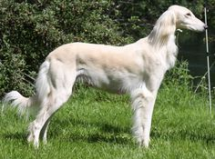 Saluki Dogs/ Persian Greyhounds - I want one someday. They're such elegant dogs