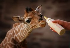 Her eyes are beautiful.  Most babies measuring 5 feet would be considered big, but newborn giraffe, Margaret, at Chester Zoo, UK is seen as unusually small for her species.