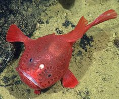 """This bulbous red fish with spiky scales and foot-like fins is a species of Sea Toad (Chaunacops coloratus)that has never been seen alive - until now! Researchers are thrilled to have spotted this rare deep-sea fish in its natural habitat. In addition to documenting it """"walking"""" along the ocean floor and fishing with their built-in lures they've documented that it actually changes color from blue to red as it ages. Underwater Sea, Underwater Creatures, Fauna Marina, Beneath The Sea, Deep Sea Creatures, Saltwater Aquarium, Saltwater Fishing, Puppy Dog Eyes, Angler Fish"""