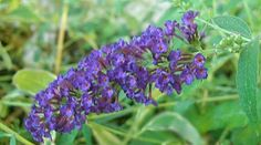 Black Knight Butterfly Bush flower - for my butterfly garden!